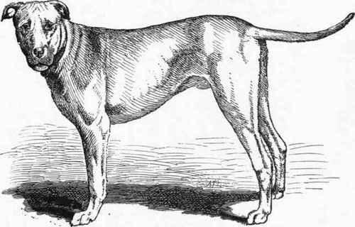 Cuban bloodhound