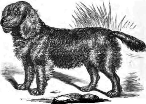 George Sussex Spaniel