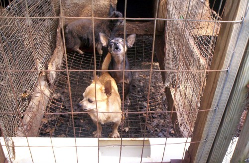 Most factory hog farms are more sanitary than this puppy mill.
