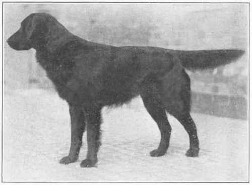 W.E. Mason's Flat-coat
