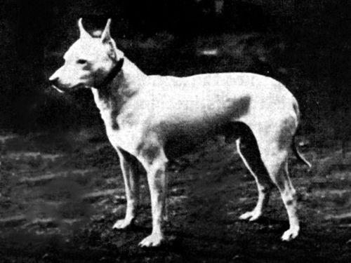 English white terrier, circa 1890.