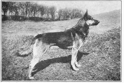 German shepherd dog from 1915 | Natural History