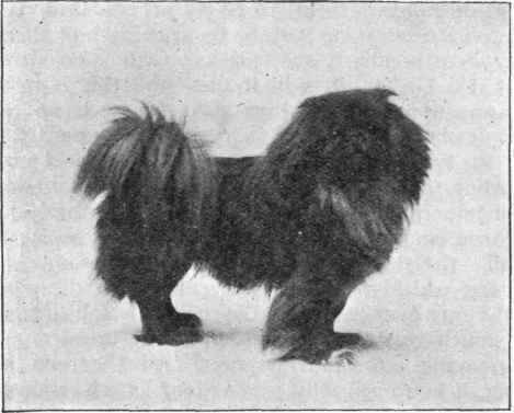 The old-type peke looked a lot like a Tibetan spaniel (compare: http://www.petside.com/breeds/assets_c/2009/01/tibetan-spaniel-thumb-334xauto-291.jpg)
