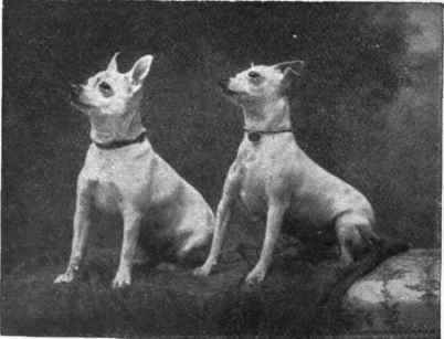 Toy Bull terriers