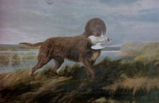 A depiction of a Tweed water spaniel or water dog. It may be a true liver or a yellow to red with brown skin.