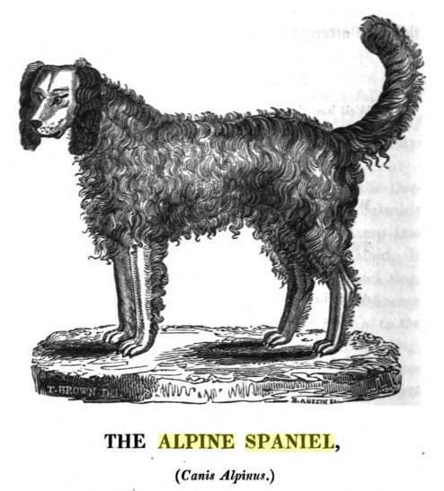 An 1929 depiction fo an Alpine spaniel.