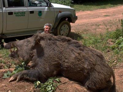 Giant Wild Boar Killed in Texas? | Natural History