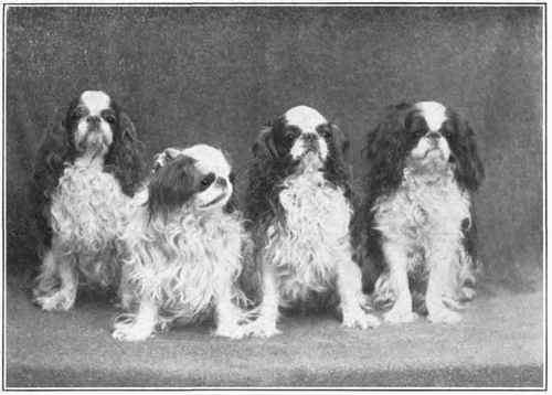 English Toy Spaniel Canis Lupus Hominis