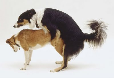 dog mating photo