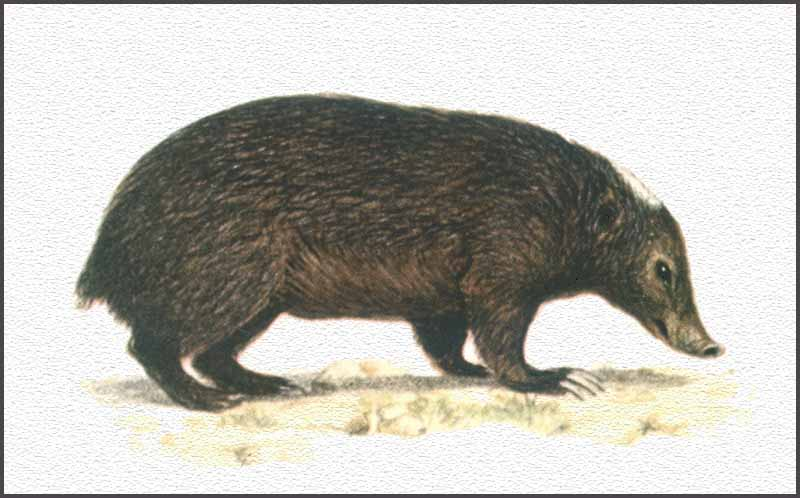 palawan-stink-badger.jpg