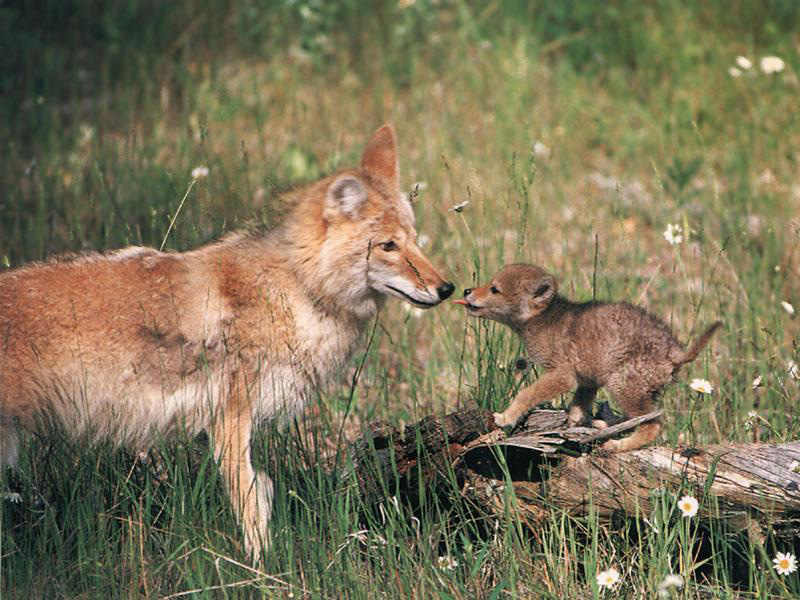 [Image: coyote-with-cub.jpg]