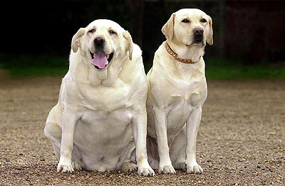 The dog on the left is obese. However, in America, we still like to breed our Labs bigger, even if they aren't overweight.