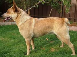 Mixed Dog Breeds Descend From