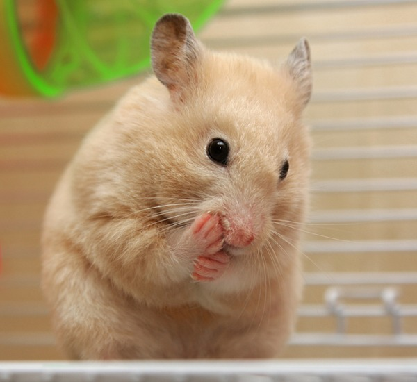 Light brown and white hamsters i had hamster called the