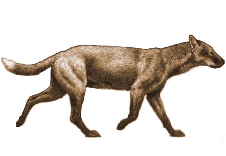 Dogs That Are Extinct Extinct Wild Dog