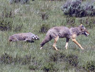 coyote and american badger symbiotic relationship