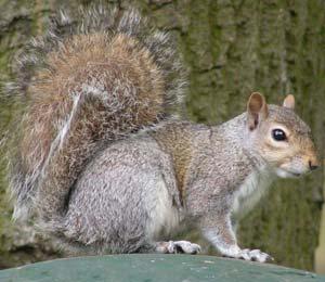 Grey fox squirrel - photo#13