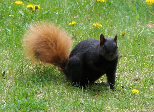 Grey fox squirrel - photo#23