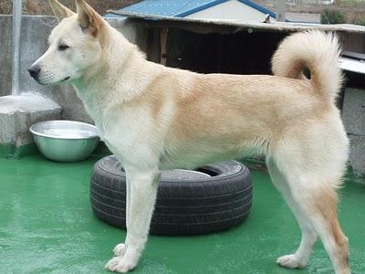Dog Breed Native To North Korea