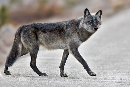 Wolf Killed In Missouri Natural History