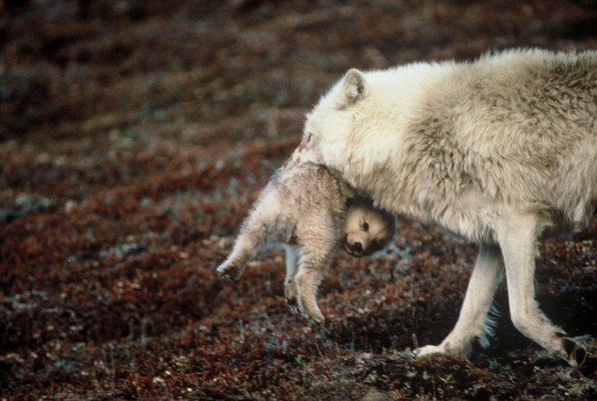 related pictures arctic wolves - photo #25