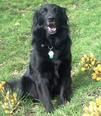 working collie/retriever cross | The Retriever, Dog, & Wildlife Blog