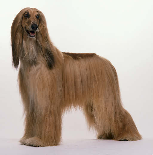 Saluki Like Dog
