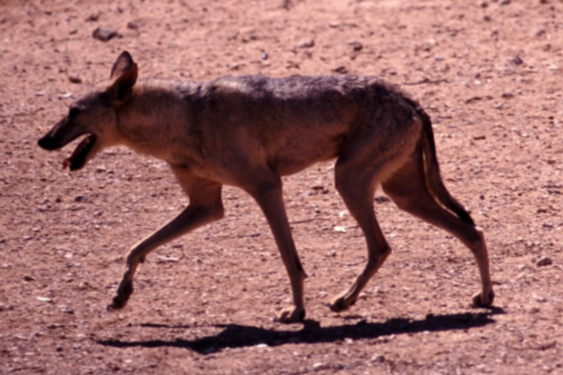 african wolf dog Protecting dogs against attacks by wolves (canis lupus), with comparison to  african wild dogs (lycaon pictus) and dholes (cuon alpinus.