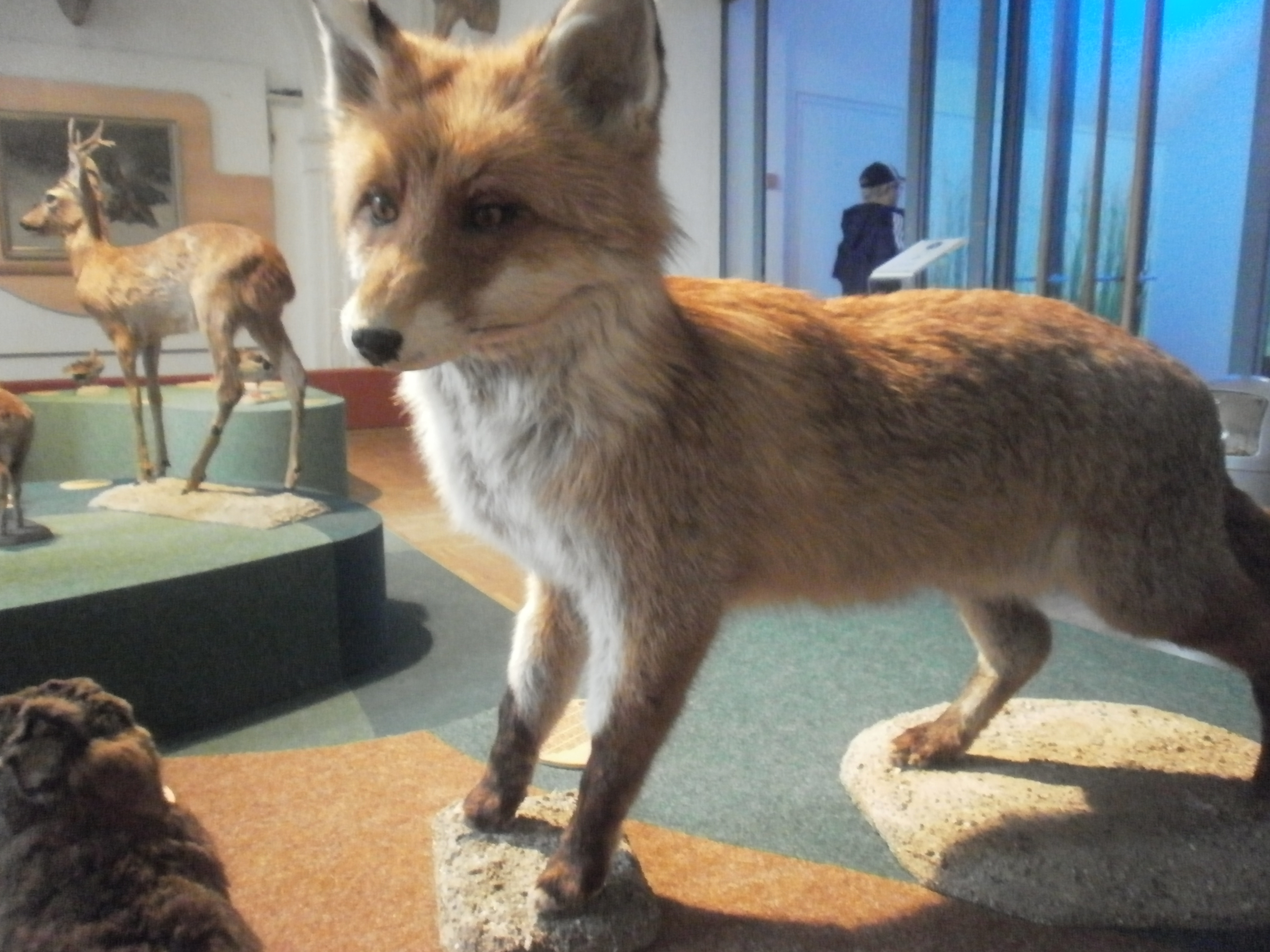 giant red fox killed in kent natural history