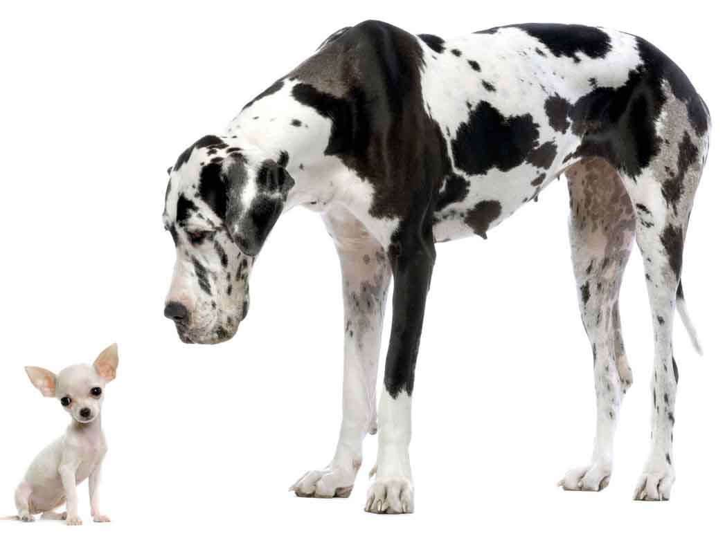 [Image: chihuahua-and-great-dane.jpg]