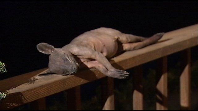 Raccoon With Mange Chupacabra killed in kentucky