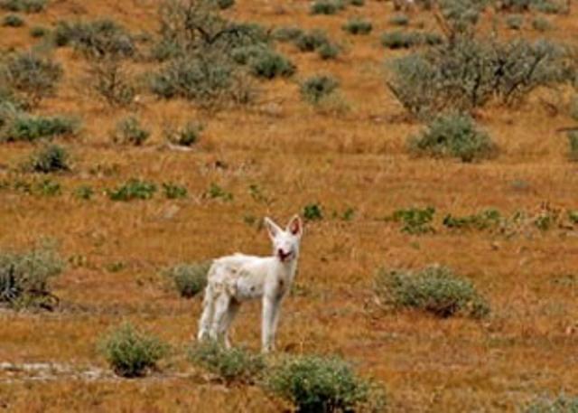 albino black backed jackal
