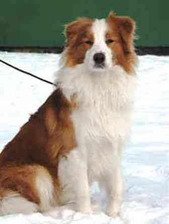 Border Collie Golden Retriever Mix Natural History
