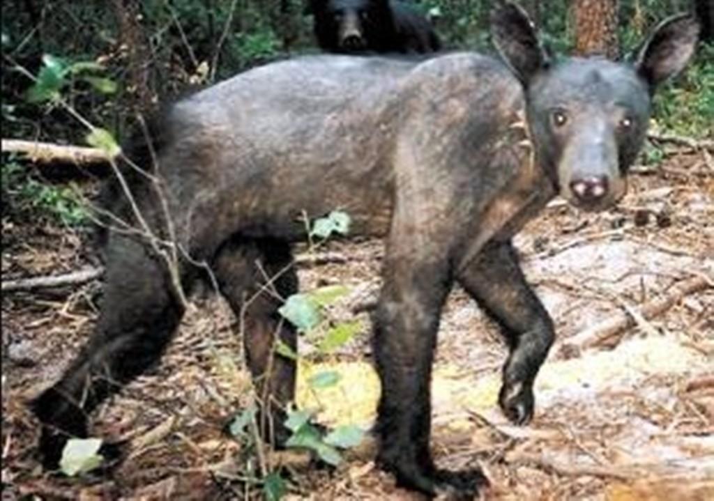 Mangy black bear | Natural History Raccoon With Mange