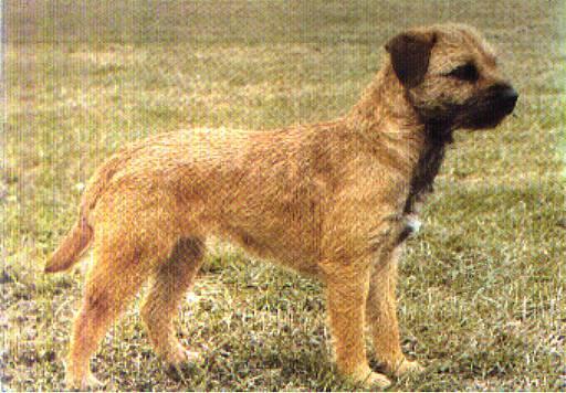 Border Terrier Natural History