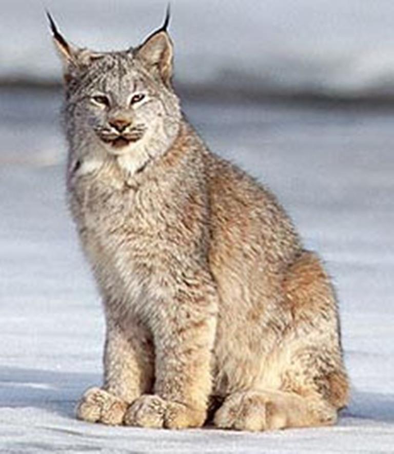 Lynx cat - photo#24