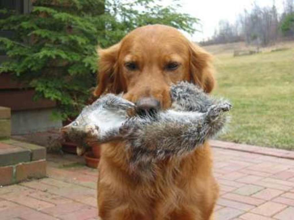 Golden retriever retrieves squirrel | Natural History