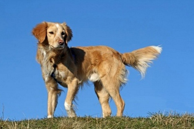Because many field-type goldens have white on them, I probably wouldn ...Nova Scotia Duck Tolling Retriever Cross Collie