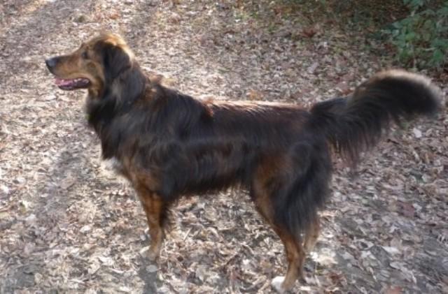 Dark sable golden retriever/rough collie cross | Canis lupus hominis