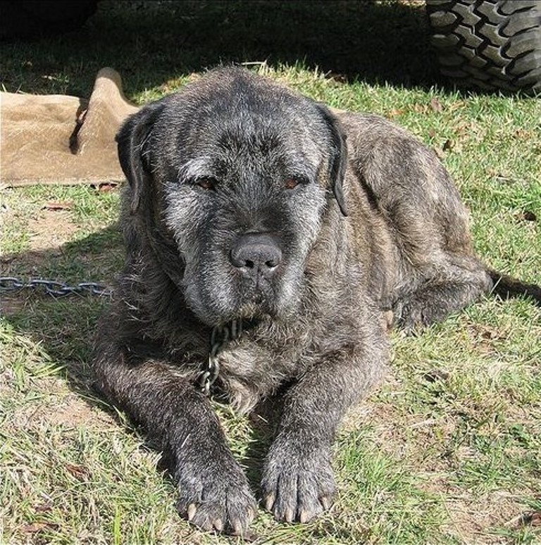 Irish Wolfhound Mastiff Mix