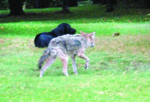 [Image: lab-coyote-partnership.jpg]