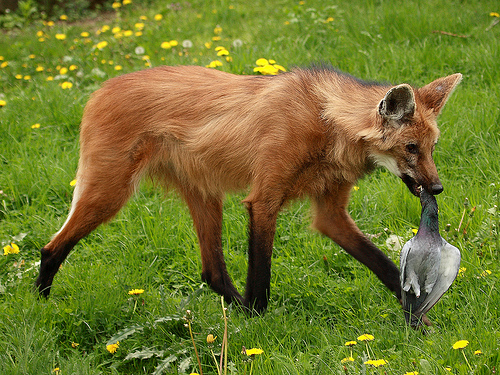 Maned wolf puppy | Natural History