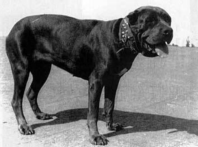 neapolitan mastiff natural history page 2