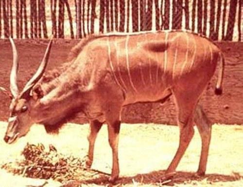 https://retrieverman.files.wordpress.com/2011/04/eland-kudu.jpg