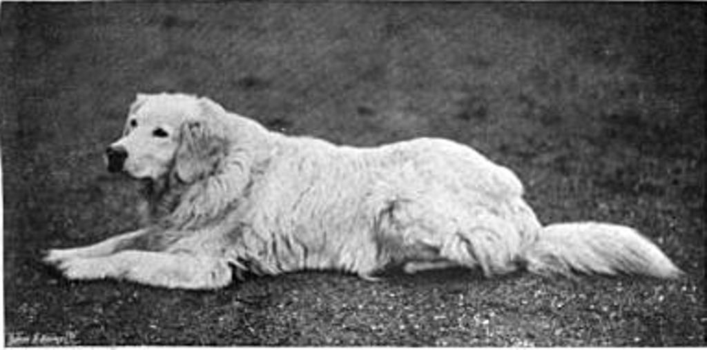 White Wavy Coated Retriever Natural History