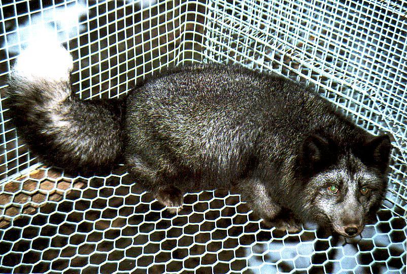 arctic fox | Natural H...