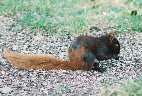 Grey fox squirrel - photo#17