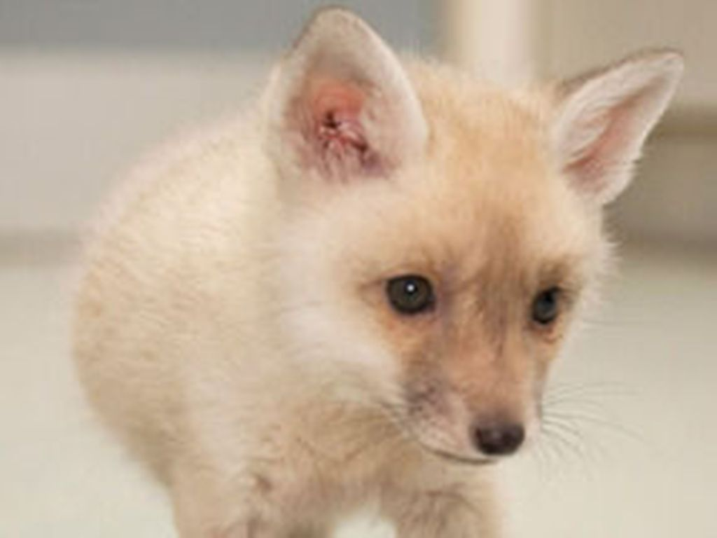 A So Called White Fox Kit Natural History