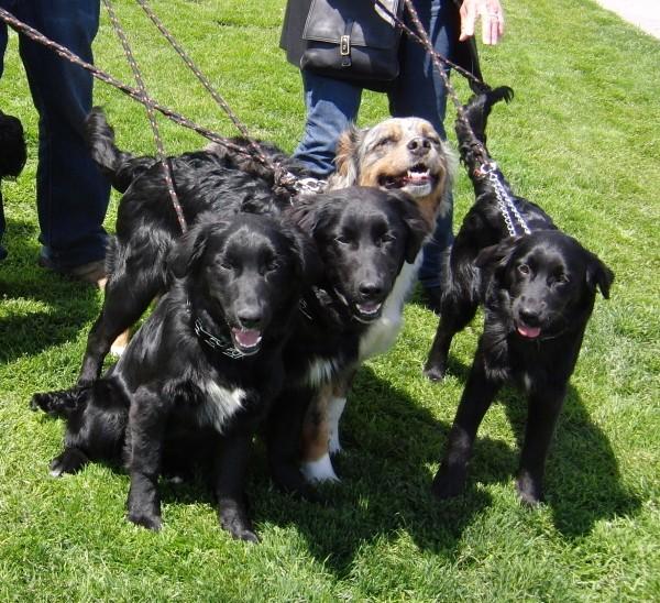 Golden retrieverAustralian  Golden Retriever Australian Shepherd Mix