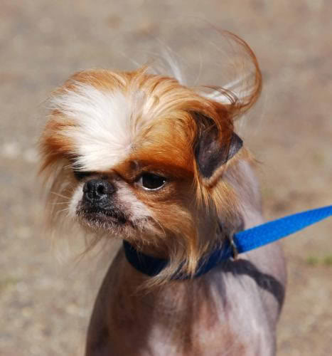Chinese crested dog | Canis lupus hominis